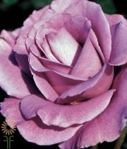 Rose, S.A.-Angel's Face-Lavender