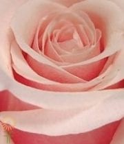 Light Pink Panama Roses