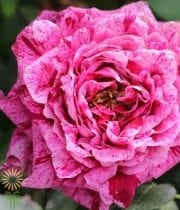 Hot Pink Crazy Eye Garden Roses, CA