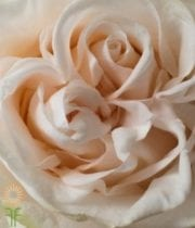 Cream/Blush Wedding Spirit Roses
