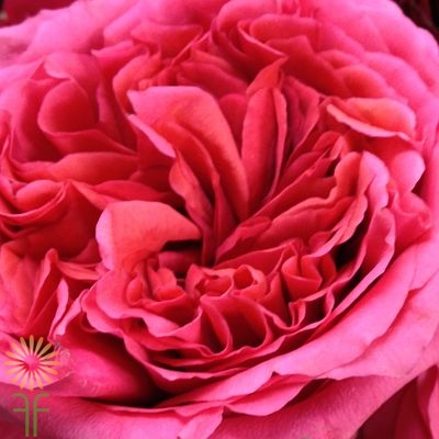 wholesale flowers | garden rose campanella pink