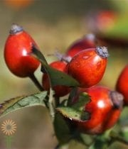 Red Branched Rose Hip