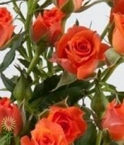 Orange Alegria Spray Roses
