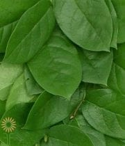 "Salal Greenery ""Lemon Leaf"""