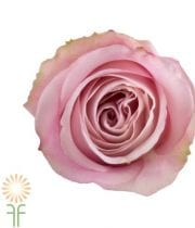 Light Pink Secret Garden Roses