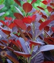 Cotinus, Smokebush-brown