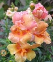 Peach Snapdragons