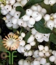 Snowberry-white