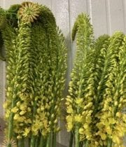 Eremurus-yellow