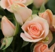 Peach Ilse Spray Roses, SA