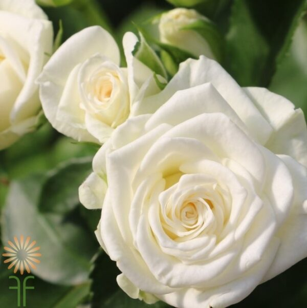 wholesale flowers | garden spray rose eden