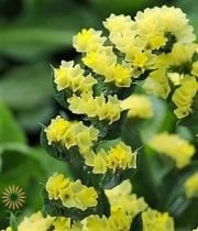Yellow Sinuata Statice