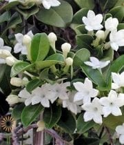 Stephanotis Vine, 2""