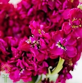 wholesale flowers | stock fuchsia
