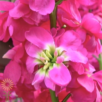 wholesale flowers | stock hot pink