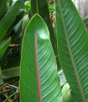Birds Of Paradise Leaves