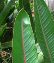 Birds Of Paradise, Leaves