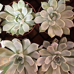 wholesale flowers | succulents large
