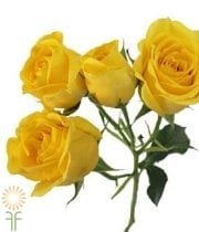 Yellow Sun City Spray Roses