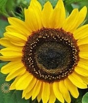 Yellow Sunbright Sunflowers (regular)