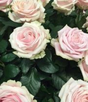 Light Pink Sweet Avalanche Roses