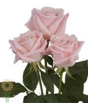 Rose,Sweet Escimo-light Pink
