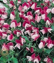 Light Pink And Burgundy Sweet Peas