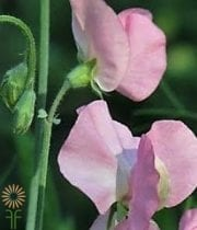 Sweet Peas-blush