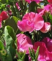 Hot Pink Sweet Peas (import)