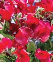 Red Sweet Peas (import)