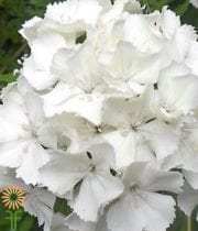 Sweet William-white