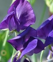 Sweet Peas-purple