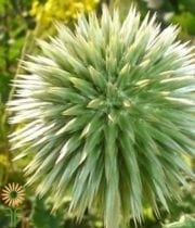 Green Thistle
