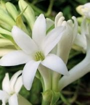 Tuberose, Mexican 10 Stems