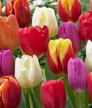 Wholesale Flowers | Tulips Assorted
