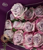 Rose, S.A.-Purple Haze 50CM-purple/lavender