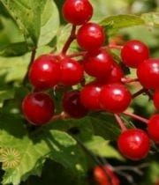 Viburnum, Cranberry-red