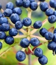 Viburnum, Blueberry-navy/blue