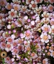 Blush Waxflower