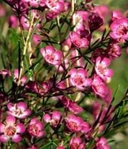Waxflower-hot Pink