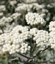 Helicrysum-white