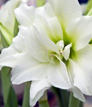 White Amaryllis (3 Stems)
