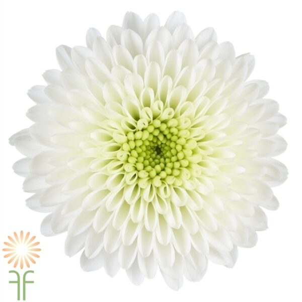 Buy fresh,locally grown white button mums for weddings,parties