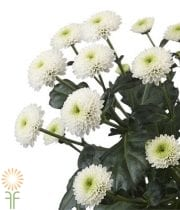 White Button Spray Mums