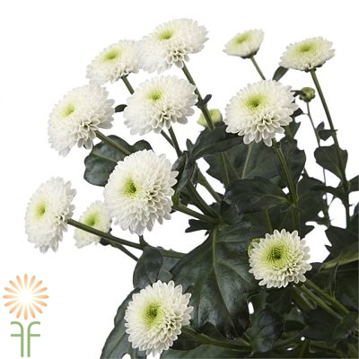wholesale flowers | spray mums- button white