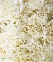 Carnations, Mini-white