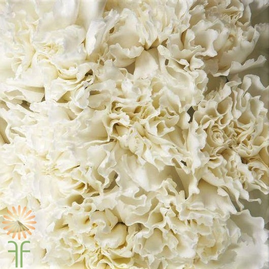 wholesale carnation white