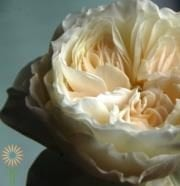 White Cloud Garden Roses,