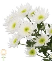 Mums, Spray-Cushion-white