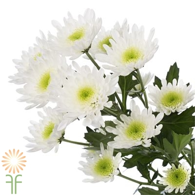 wholesale flowers | spray mums- cushion white